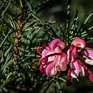 New Grevillea hedge flowers Leith Park Victoria 20160530 7029  by Fred Mitchell