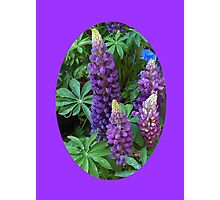 Oval Lupins Vignette Photographic Print