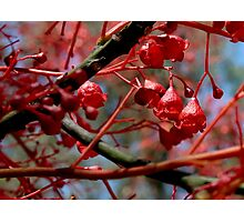 Illawarra flame tree flowers Photographic Print
