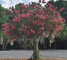 Red Crepe Myrtle by barnsis
