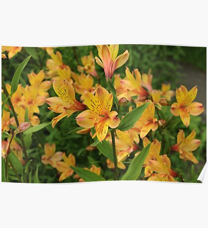 Peruvian Lily Flowers Poster