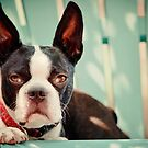 BOSTON TERRIER ON BLUE by CRYROLFE