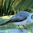Noisy miner bird by Margaret Stevens