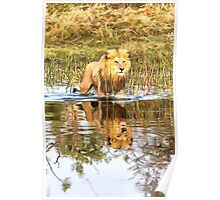 Lion in River with Reflection Poster