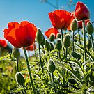Poppies at Sunset by vivsworld