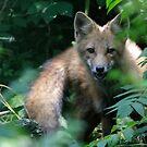 Fox by Dennis Cheeseman