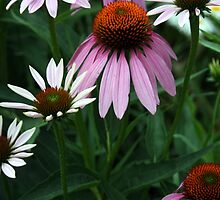 Purple Coneflowers by kkphoto1