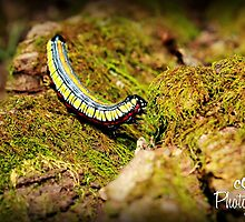 caterpillar by cOkSi