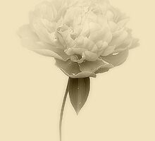 Vintage Rose by Christine Lake