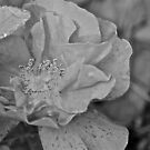 Black and white Rose by Carolyn Clark
