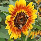 Sunflower Friends by AnnDixon