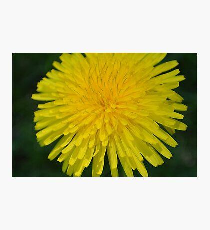Yellow Dandelion Photographic Print