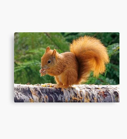 Red Squirrel with Nuts Canvas Print