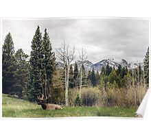 An Elk Resting With a View Poster