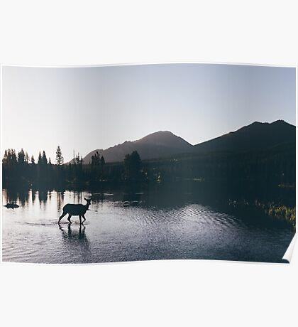 Elk Taking a Morning Dip Poster