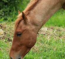 Head of a Brown Horse Grazing by rhamm