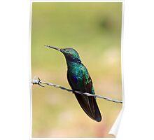 Sparkling Violetear Hummingbird Profile Poster