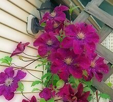 Backyard Purple Clematis by kkphoto1