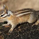 Chipmunk in the sun by Anthony Brewer