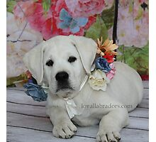 English Labrador Puppy ~ Loyal Labradors Photographic Print