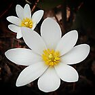 Bloodroot flowers shining in the spring by rvjames