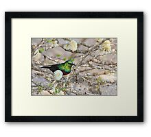 Marico Sunbird - African Wildlife - Iridescent Colors and Beauty Framed Print