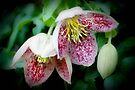 Freckled clematis by missmoneypenny