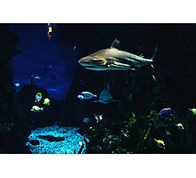 Shark In A Tank Photographic Print