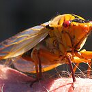 Cicada by Marilyn Harris