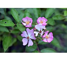 Small purple flowers on green leaves background. Photographic Print