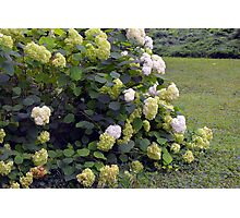 Bush of white flowers in the garden. Photographic Print