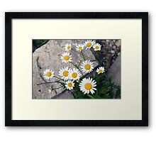 Beautiful small white flowers on the pavement. Framed Print