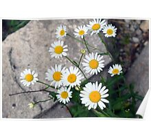 Beautiful small white flowers on the pavement. Poster
