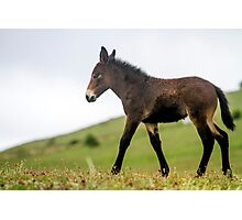 Foal grazes in a green meadow  Photographic Print