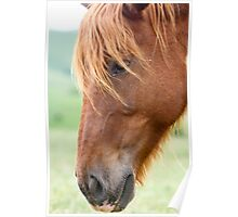 Close up portrait of a Horse grazing in a green meadow  Poster