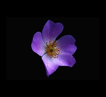 Purple Flower on Black Background by emilysmithart