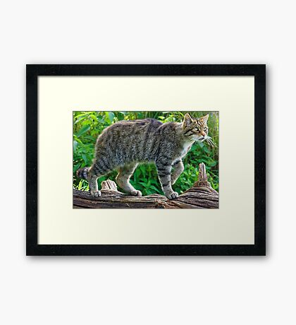 Scottish Wildcat (2) Framed Print