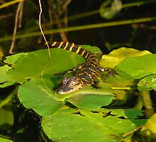 Gator Baby by David Lee Thompson