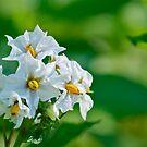 White potato blossom by Carolyn Clark