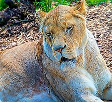 Lion Panthera leo by Chris Thaxter