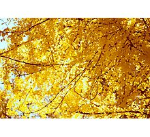 Sunlit Ginkgo Tree in Fall Photographic Print