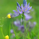 Camasia wildflower by miradorpictures