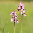 Green winged orchids by miradorpictures