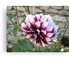 White and red Dahlia  Canvas Print