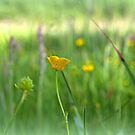 The Buttercup by carolhynes