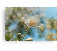 fresh jasmine flowers Canvas Print
