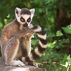 My Tail Looks Great - Young Ring-tailed Lemur by Jo Nijenhuis