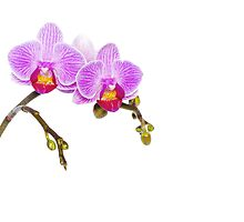 Simple Orchid I by JLHphoto