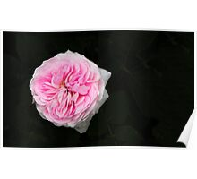 Pink flower in bloom Poster