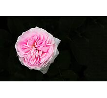 Pink flower in bloom Photographic Print